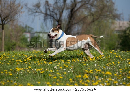American Pit Bull Terrier running in the flowery meadow - stock photo