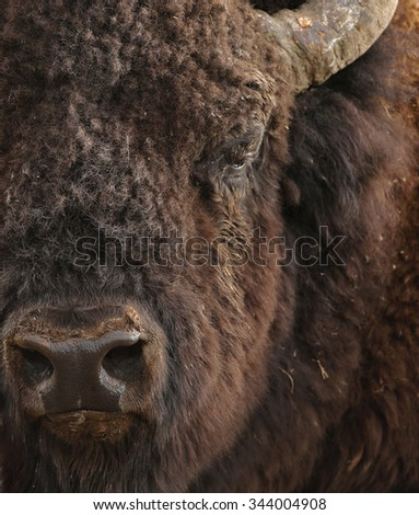 American Plains Bison - Yellowstone National Park - stock photo