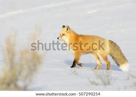 American Red Fox (Vulpes vulpes fulva) adult, walking on snow, Yellowstone N P , Wyoming, USA.