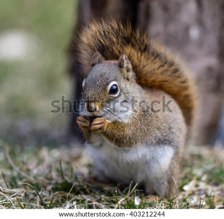 American Red Squirrel Eating Sunflower Seeds