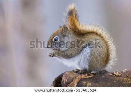 American red squirrel in autumn light (Tamiasciurus hudsonicus)