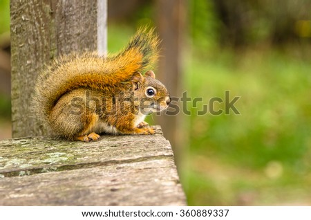 American Red Squirrel, New Brunswick, Canada. Shallow Deep of Field