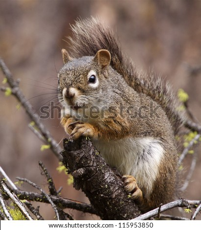 American Red Squirrel, Pine Squirrel, Chickaree; on a Pine tree branch in a National Forest; Washington, USA
