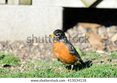 AMERICAN ROBIN IN MICHIGAN