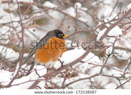 American robin in snowy tree after migrating north in late winter and early spring