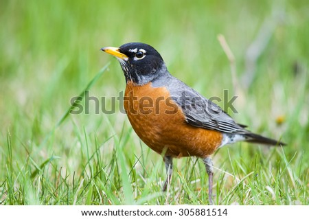 American Robin in the springtime grass