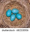 American robin nest and eggs (Turdus migratorius) - stock photo