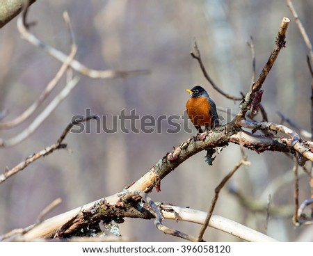 American Robin perched deep in a forest in Quebec. - stock photo