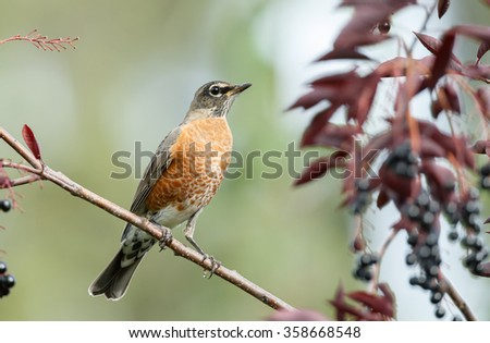 American robin perched on a twig