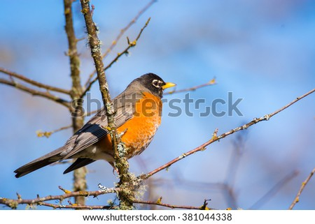 American Robin perches in a tree on a sunny winter's day in western Washington.