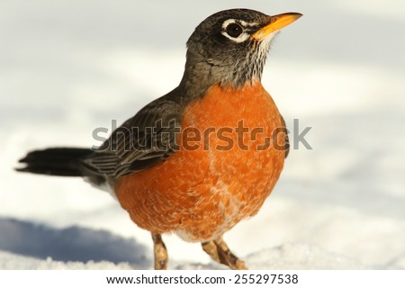 American Robin (Turdus migratorius) on a lawn with snow - stock photo