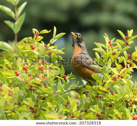 American Robin (Turdus migratorius) perched in a tree