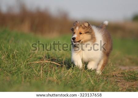 American Shetland Sheepdog - stock photo