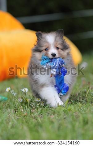 American Shetland Sheepdog puppy - stock photo