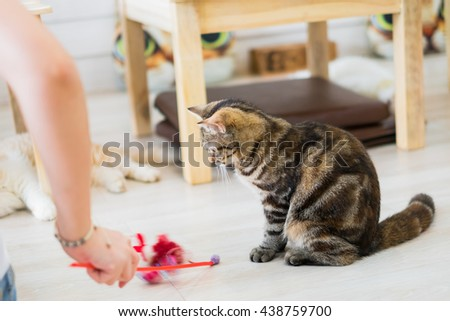 american short hair cat staring at the cat toys - stock photo