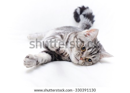 American Short Hair Kitten