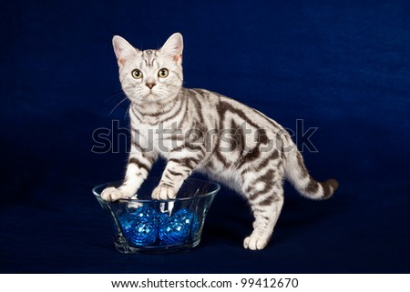 American Short hair kitten with bowl of blue marbles on dark blue background - stock photo