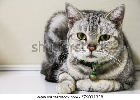 American Short Hair with yellow eyes cat - stock photo