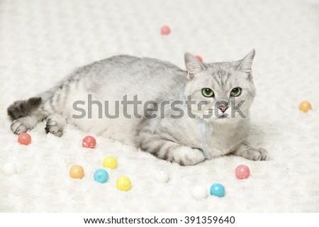 American Shorthair cat breed - stock photo