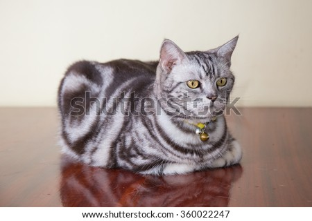 american shorthair cat crouch on brown wood floor