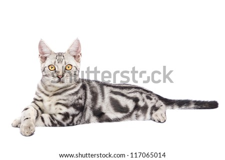 American Shorthair Cat in white background - stock photo
