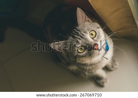 American Shorthair Cat - vintage style effect picture - stock photo