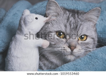 American shorthair cat wrapped around in a blue blanket with a white mouse whispering in ear