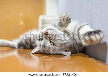 american shorthair sit and rolled around on the table / american shorthair sleep on table