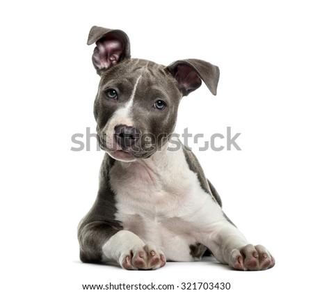 American Staff puppy in front of white background - stock photo