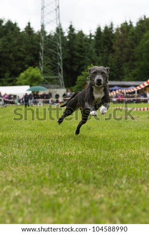 American stafford bullterrier in action - stock photo