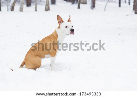 American Stafford shire Terrier sitting and looking who's coming - stock photo