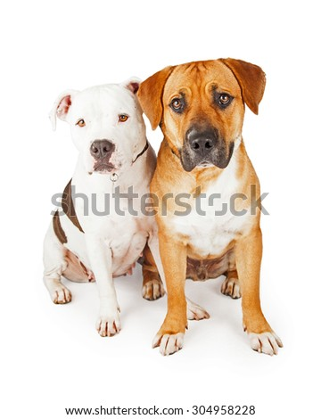 American Staffordshire and Large Mixed Breed Dogs sitting together. Very cute pose for bonded pair of dogs.  - stock photo