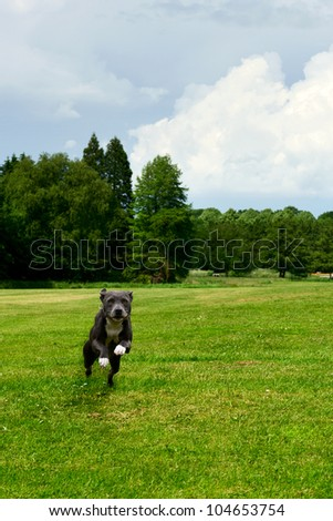 American staffordshire terrier - stock photo