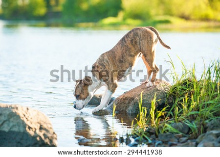 American staffordshire terrier dog drinking from the river  - stock photo