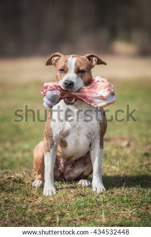 American staffordshire terrier dog holding a bone in its mouth - stock photo