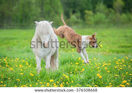 American staffordshire terrier dog jumping over a little shetland pony  - stock photo