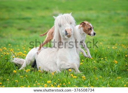 American staffordshire terrier dog jumping over a lying shetland pony  - stock photo