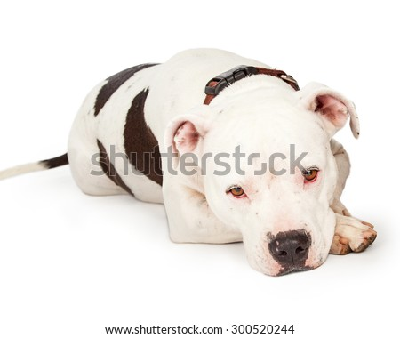 American Staffordshire Terrier Dog laying with head on front paw and a sad expression - stock photo