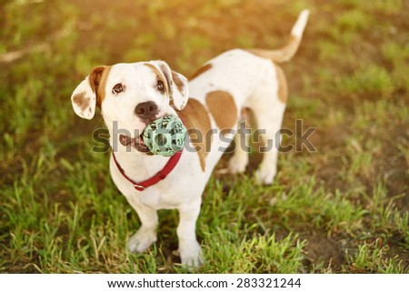 American staffordshire terrier dog play his ball - stock photo