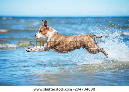 American staffordshire terrier dog playing in the sea water - stock photo