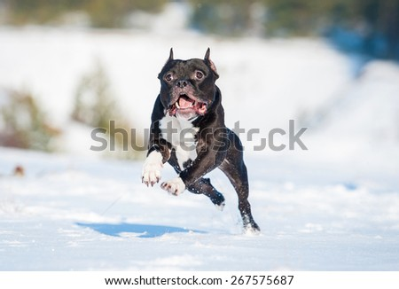 American staffordshire terrier dog playing in winter