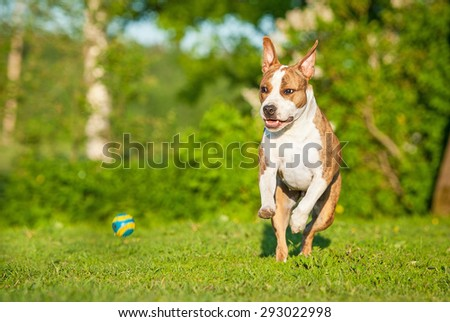 American staffordshire terrier dog playing with a ball  - stock photo