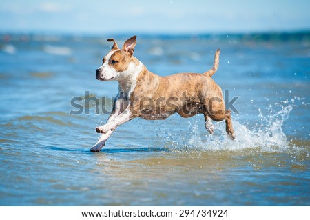 American staffordshire terrier dog running in water of the sea  - stock photo