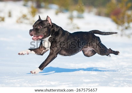 American staffordshire terrier dog running in winter