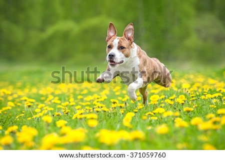 American staffordshire terrier dog running on the field with dandelions - stock photo