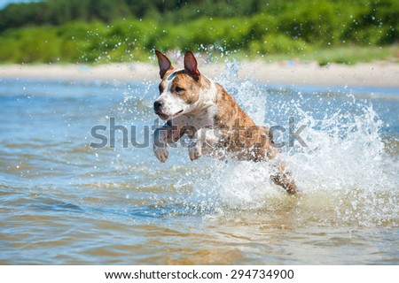 American staffordshire terrier dog running with a lot of splashing in the sea water - stock photo