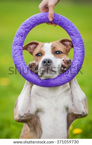 American staffordshire terrier dog showing a trick with a ring - stock photo