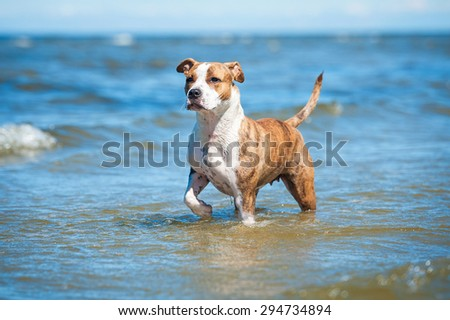 American staffordshire terrier dog standing in the water  - stock photo