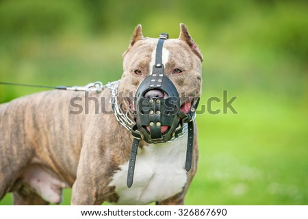 American staffordshire terrier dog wearing a muzzle - stock photo