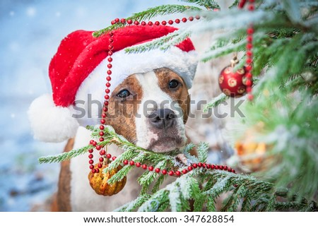 American staffordshire terrier dog with a santa claus hat looking at the christmas ball - stock photo